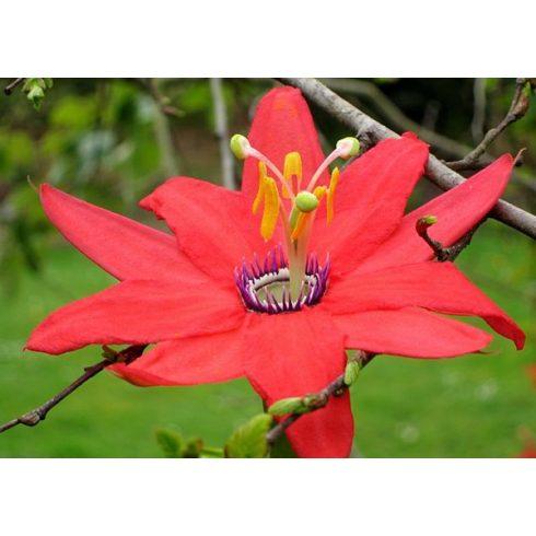 Passiflora manicata - 5db mag/csomag
