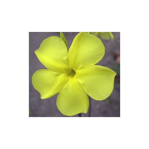 Pachypodium rosulatum subsp. cactipes - Elefántláb kaktusz - 5db mag/csomag