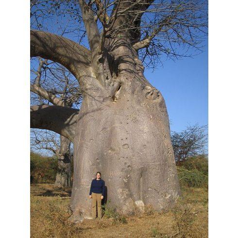Adansonia digitata- Majomkenyérfa - 5db mag/csomag
