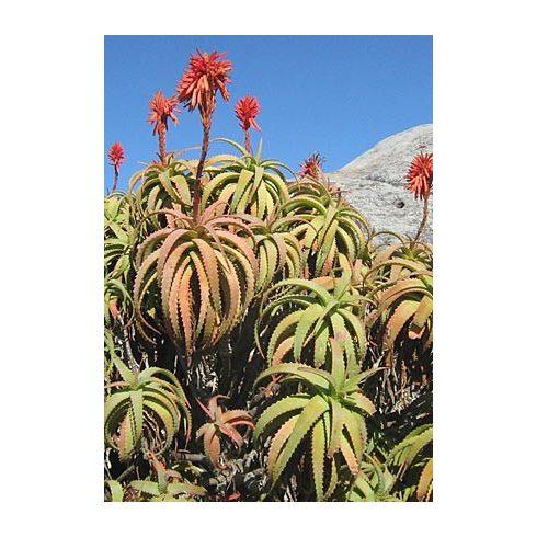 Aloe arborescens - Fás aloe - 5db mag/csomag