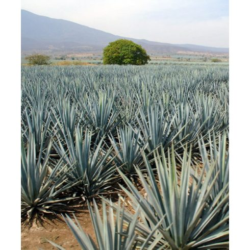 Agave tequilana - 5db mag/csomag
