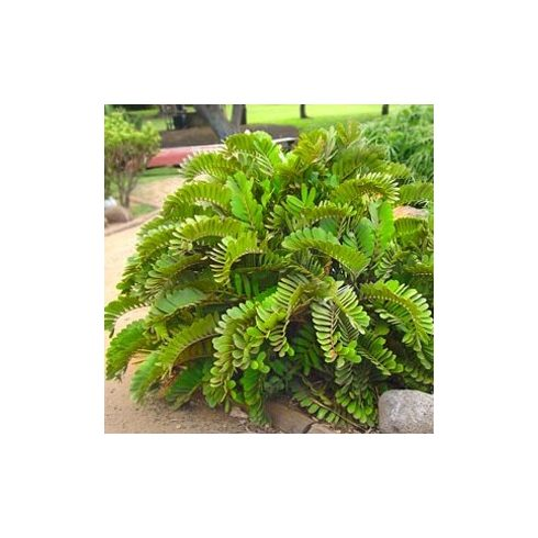 Zamia furfuraceae - 5db mag/csomag