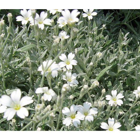 Cerastium tomentosum - Molyhos madárhúr - 5db mag/csomag