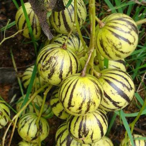 Solanum caripense - Mini-Pepino - 5db mag/csomag