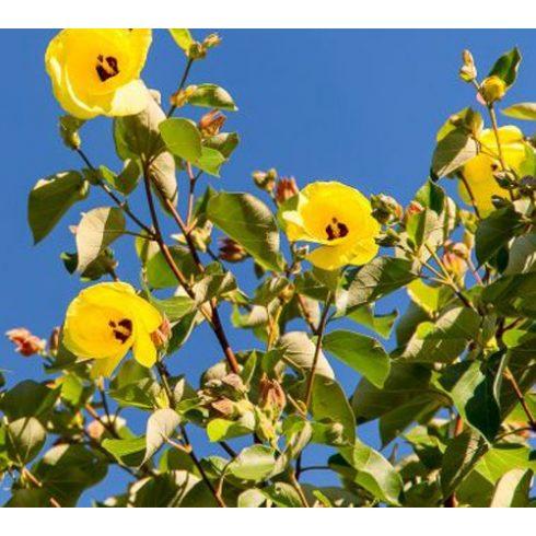 Hibiscus tiliaceus - Hárslevelű hibiszkusz - 5db mag/csomag