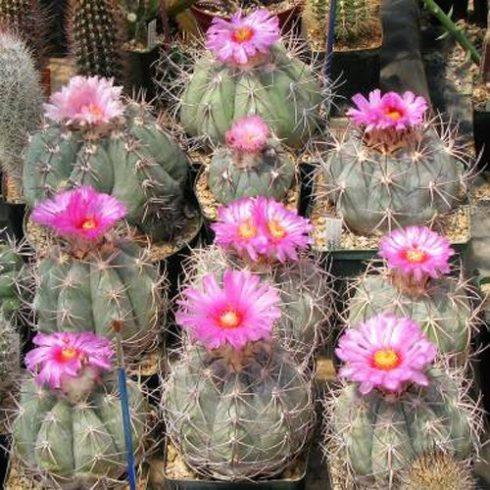 Echinocactus horizonthalonius - Ördögfejű sünkaktusz - 5db mag/csomag