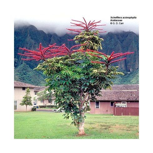 Schefflera actinophylla - Esernyőfa - 5db mag/csomag