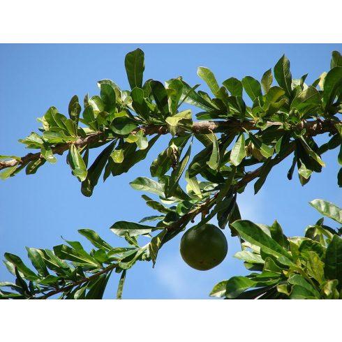 Crescentia cujete - Rumbatök - 5db mag/csomag