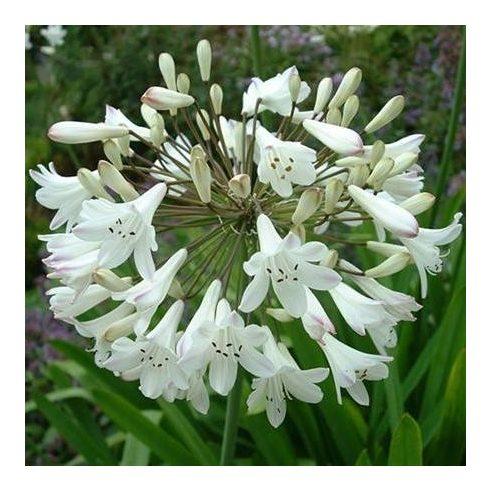 Agapanthus praecox ALBA - Korai fehér szerelemvirág - 5db mag/csomag