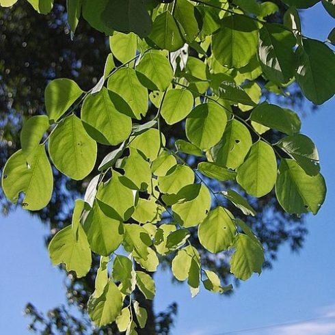Dalbergia latifolia - Rózsafa - 5db mag/csomag