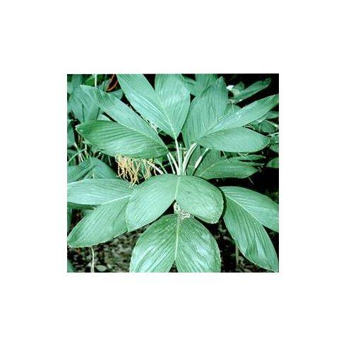 Chamaedorea ernesti-augusti - 5db mag/csomag