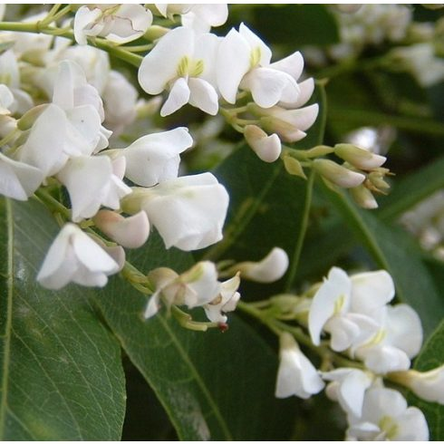 Hardenbergia violacea (Alba) - Korallborsó - Fehér - 5db mag/csomag