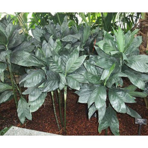 Chamaedorea metallica -  Fémes színű halfarok pálma - 5db mag/csomag