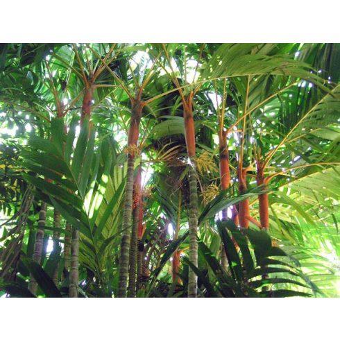 Areca vestiaria - Narancsszínű koronapálma  - 5db mag/csomag