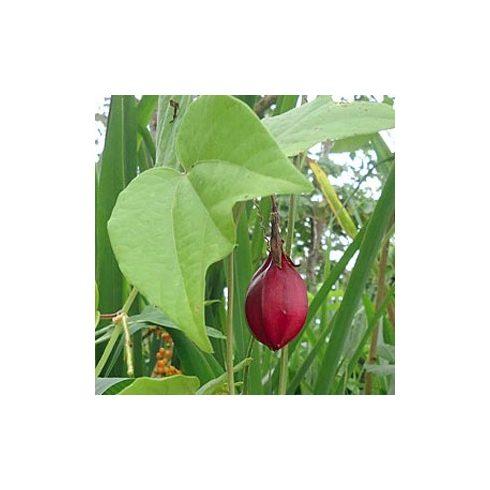 Passiflora capsularis - Kapszula-gyümölcsű golgotavirág - 5db mag/csomag