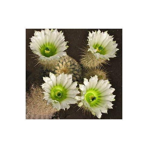 Echinocereus grandis- Óriás szivárványos kaktusz - 5db mag/csomag