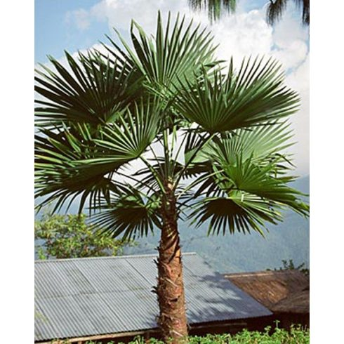 Trachycarpus latisectus - Kenderpálma - 5db mag/csomag