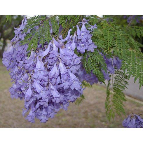 Jacaranda mimosifolia - Közönséges zsakarandafa - 5db mag/csomag