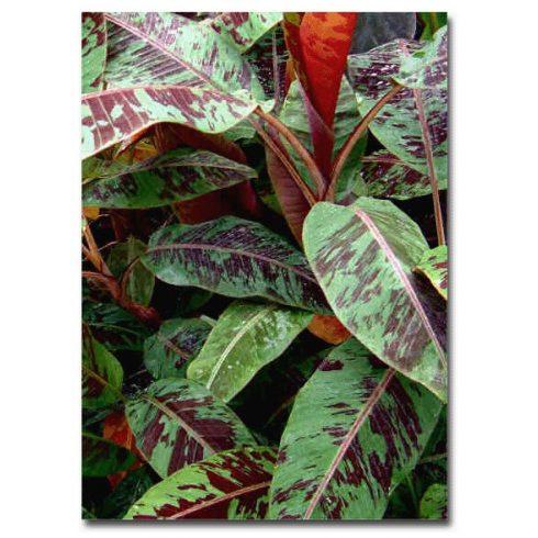 Musa sikkimensis (Red Tiger) - Csíkoslevelű banán  - 5db mag/csomag