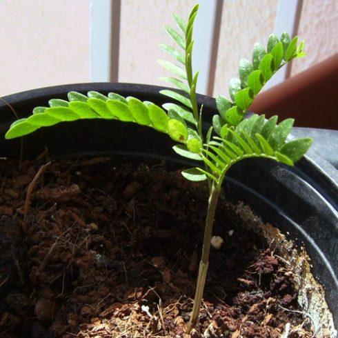 Ceratonia siliqua - Szentjánoskenyérfa - 5db mag/csomag