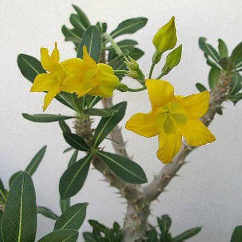 Pachypodium horombense - 5db mag/csomag
