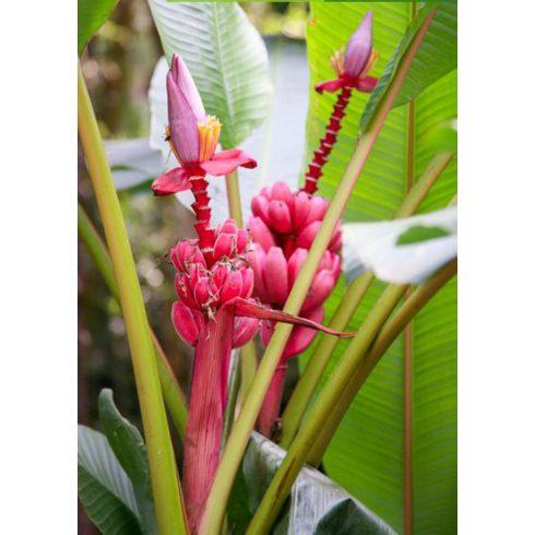 Musa velutina - Pink banán - 5db mag/csomag