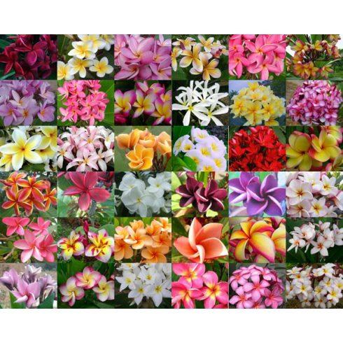 Plumeria rubra - Frangipáni - 5db mag/csomag