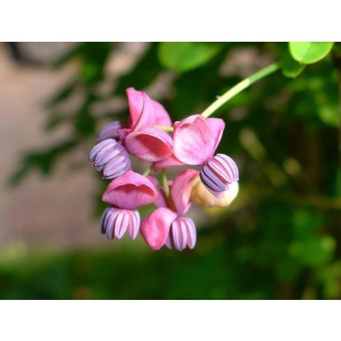 Akebia quinata - Ötlevelű akebi - 5db mag/csomag