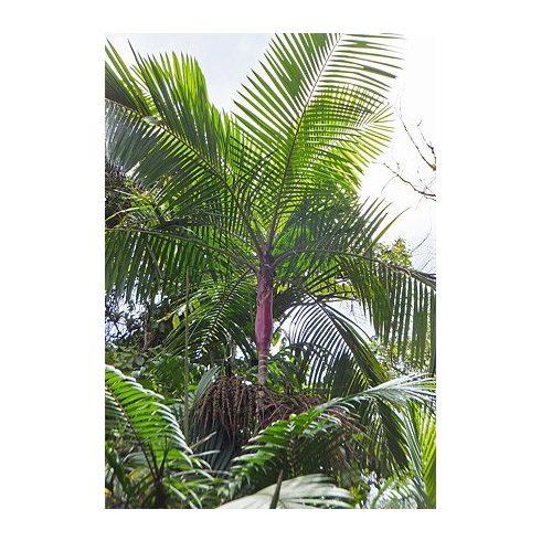 Prestoea acuminata - Vöröslevelű pálma - 5db mag/csomag