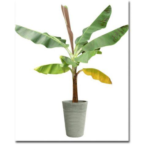 Musa sikkimenis - Tarkalevelű banán - 5db mag/csomag