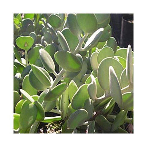 Xerosicyos danguyi - Ezüstdollár szőlő - Silver Dollar Vine seeds - 5db mag/csomag