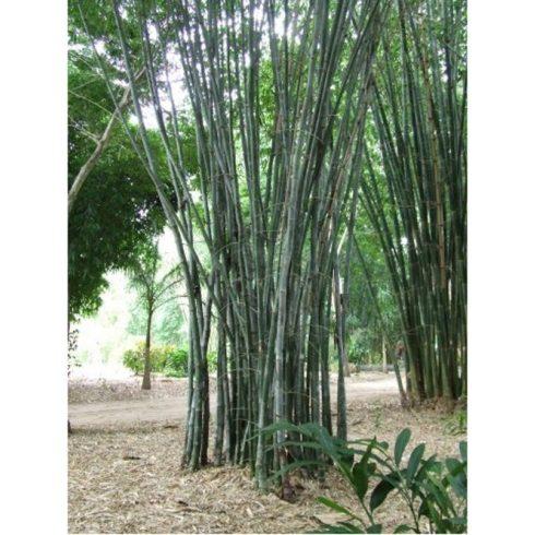 Dendrocalamus strictus - Óriás bambusz - 5db mag/csomag