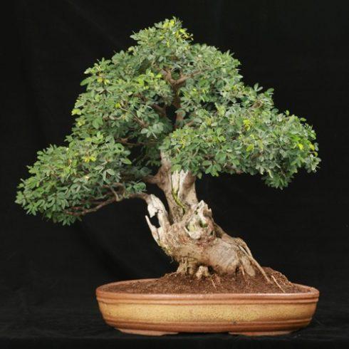 Tamarindus indica - Tamarinduszfa - 5db mag/csomag