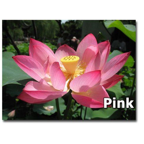Nelumbo nucifera - Indiai lótusz mag, Rózsaszín- 2db mag/csomag