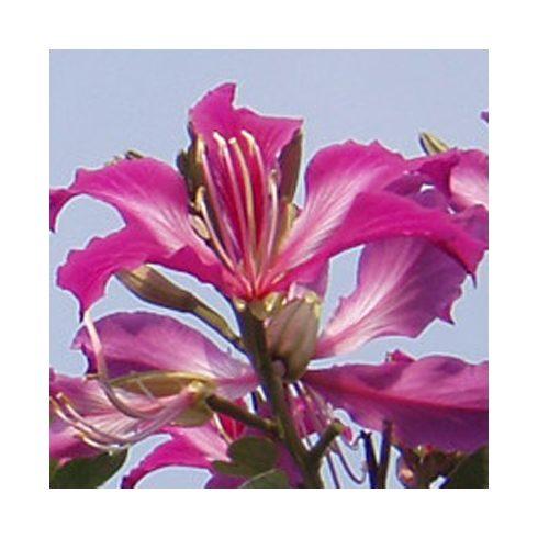 Bauhinia purpurea - Lila virágú orhideafa - 5db mag/csomag