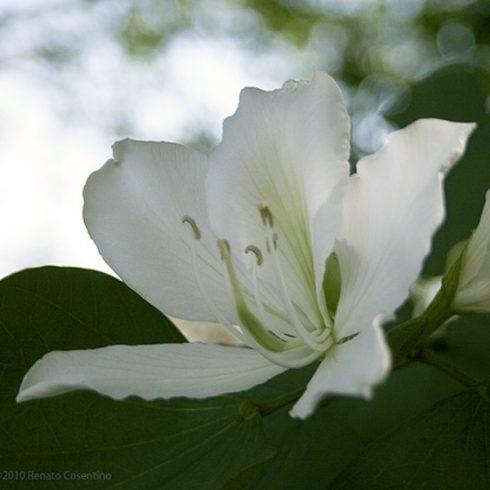 Bauhinia selma - Fehér virágú orhideafa - 5db mag/csomag