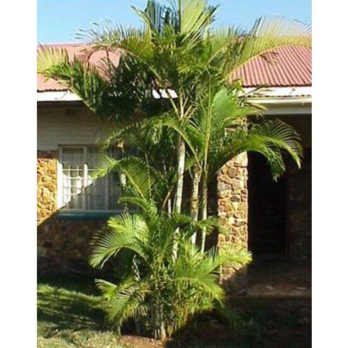 Dypsis lutescens - Aranynád pálma - 5db mag/csomag
