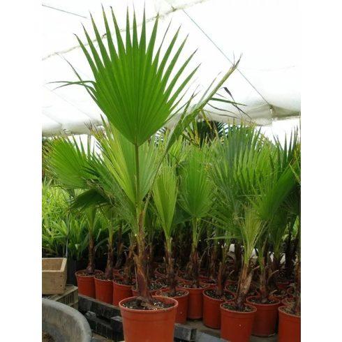 Washingtonia filifera - Fonalaslevelű Washington-pálma - 5db mag/csomag