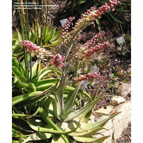 Aloe globuligemma - Gomb aloe - 5db mag/csomag