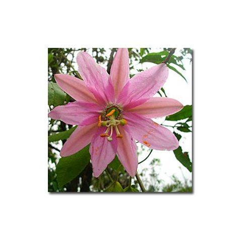 Passiflora mollissima - Molyhos golgotavirág - 5db mag/csomag