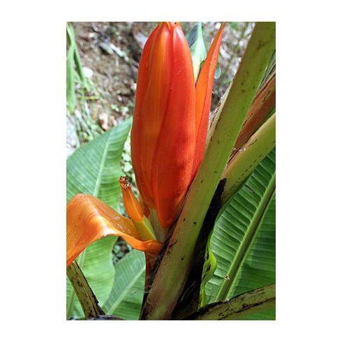 Musa ornata (Orange Flower) - Narancsvirágú banán - 5db mag/csomag