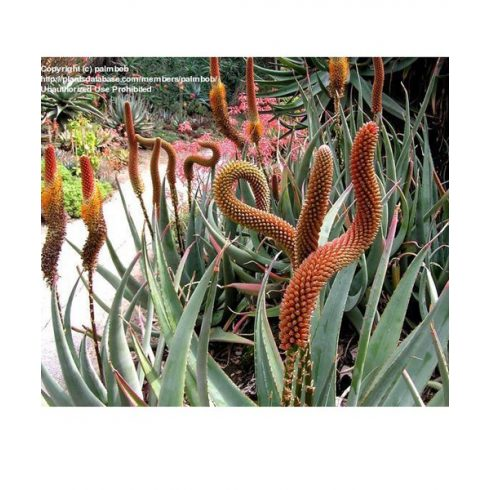 Aloe castanea - Macskafarok aloe - 5db mag/csomag