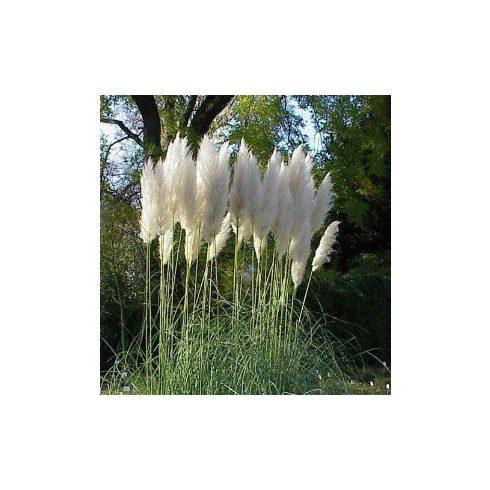 Cortaderia selloana WHITE - Ezüstös pampafű WHITE - 5db mag/csomag
