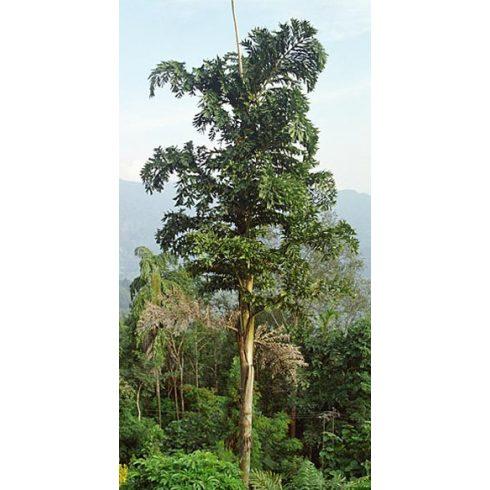 Caryota maxima Himalaya - Hegyi halfarokpálma - 5db mag/csomag