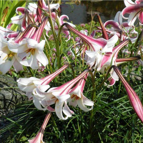 Lilium formosanum - 5db mag/csomag