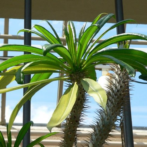 Pachypodium geayi - 5db mag/csomag