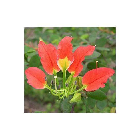 Bauhinia grevei - 5db mag/csomag