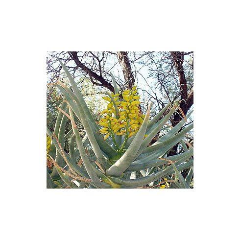 Aloe dichotoma - Ágastörzsű aloe - 5db mag/csomag