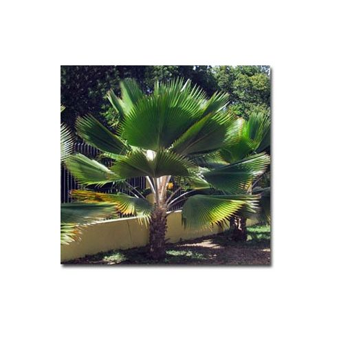 Pritchardia pacifica - Fidzsi-pálma - 5db mag/csomag