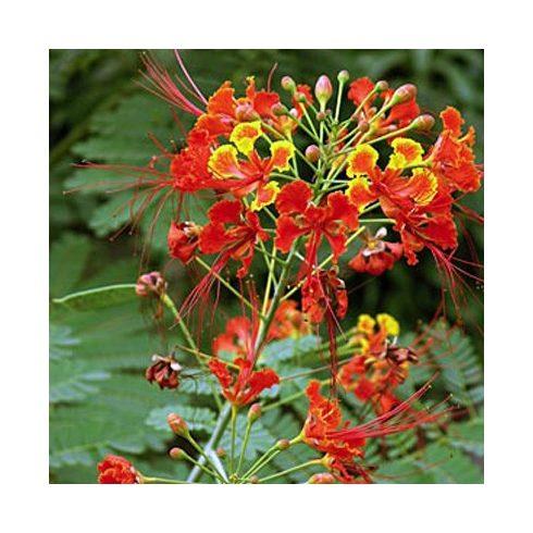 Caesalpinia pulcherrima - Pompás pillangófa - 5db mag/csomag